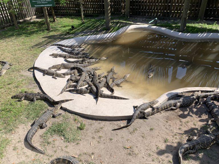 Boggy Creek juvenile alligators